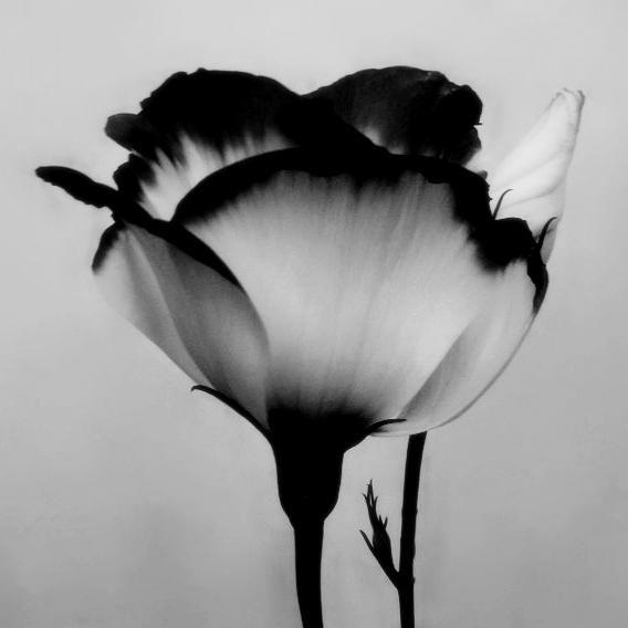tulipa black #3